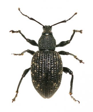 Black-Vine Weevil